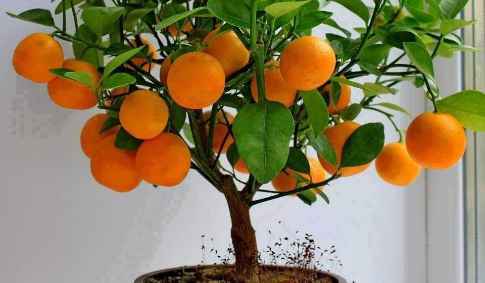 Портокал – завладяващото сладко ухание