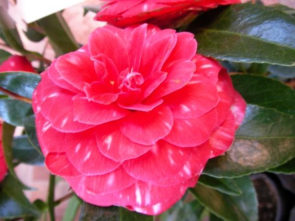 Камелия - цветето без мирис в парфюмерията