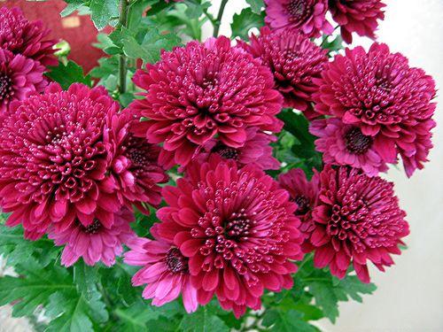 Хризантема - малкото цвете с големия аромат