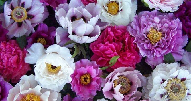Божур – нотката на най-изисканите парфюми