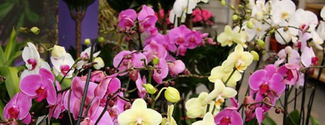 Орхидея - символът на любовта