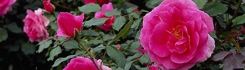 Българска роза - кралицата на цветята